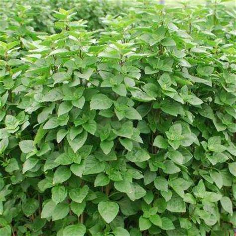 plant l home depot oregano herb plants edible garden the home depot