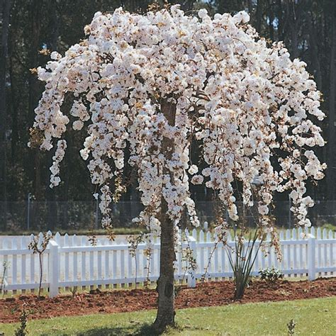 weeping cherry nz search in the garden gardens garden ideas and plants