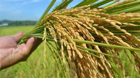 varietas padi  bandel menghadapi el nino