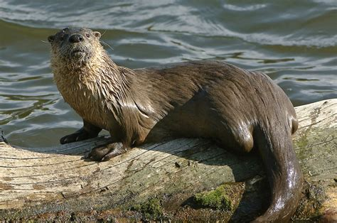 american river otter animals portal