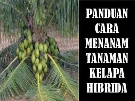 cara budidaya tanaman kelapa hibrida bagi pemula agar cepat berbuah youtube