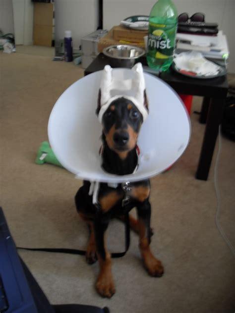 doberman puppy cropped ears 14 15 weeks puppy doberman pinscher space baby