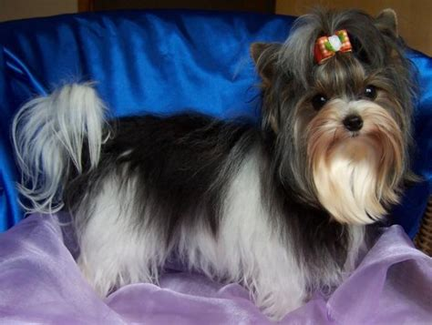 biewer parti yorkie 1000 images about biewer parti yorkies on terrier puppies i give up