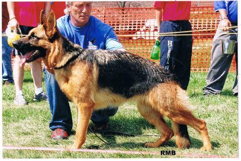 german shepherd puppies illinois german shepherd breeders and puppies for sale in illinois fleischerheim german shepherds