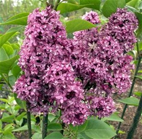 Flieder Charles Joly 2222 edelflieder charles joly syringa vulgaris charles joly