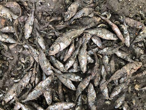 unusual hundreds  fish  dead  uk river