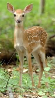 fawn colored fawn ferrebeekeeper