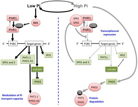 zinc carbohydrates frontiers integration of p s fe and zn nutrition