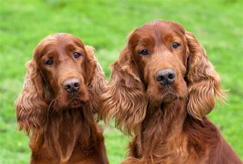 setter dog grooming irish setter grooming animal behavior college blog