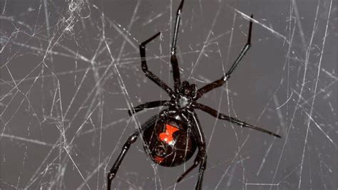 web pattern black widow cobwebs hold genetic secrets about spiders and their prey