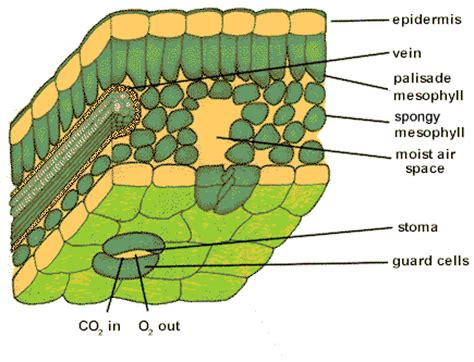 leaf structure diagram year 10 science leaf structure