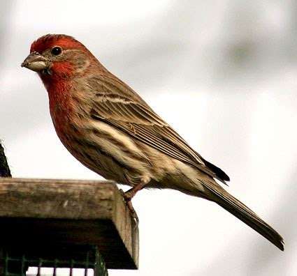bird house finch house finch identification all about birds cornell lab of ornithology