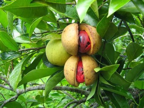 Minyak Kemiri Tiga Anak manfaat buah pala