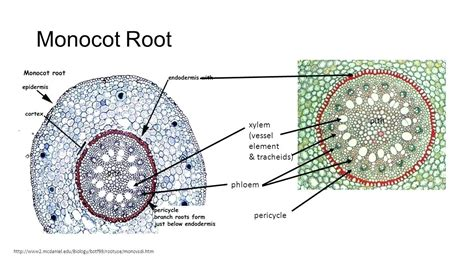 Monocot Root Cross Section Diagram
