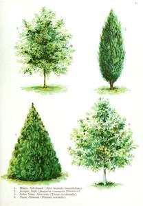 botanical trees tree types 1 landscaping pinterest