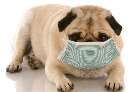 pug puppy has diarrhea can you give a imodium kaopectate or pepto bismol for his upset stomach