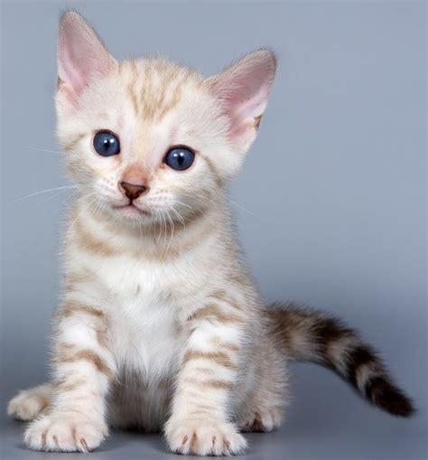 White Bengal Cat Kittens | white bengal cat www pixshark com images galleries