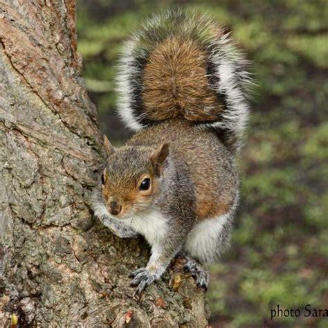 squirrel facts red squirrel partnership partneriaeth