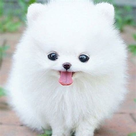 teacup pomeranian images teacup pomeranian club breeds picture
