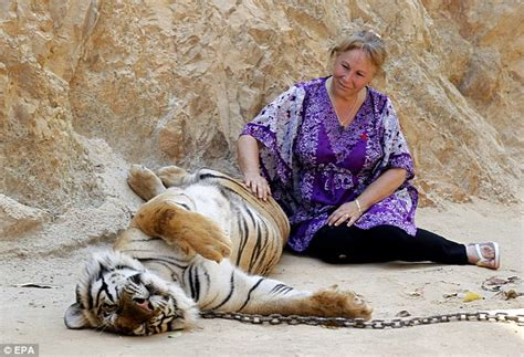 Inidia Cat 24 the big cats of thailand s tiger temple daily mail