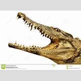 Alligator Mouth Open Drawing | 1300 x 954 jpeg 153kB