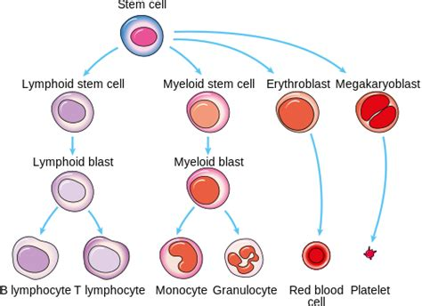 blood cells diagram producing new blood cells why reading the recipe matters