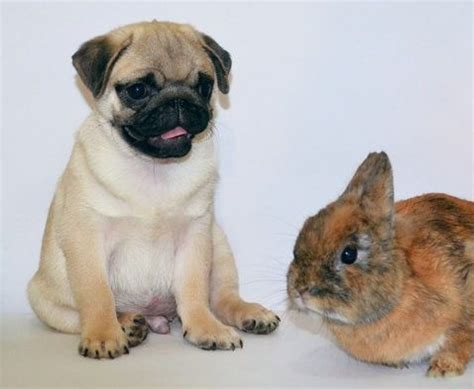 pug bunny 17 best images about dogs friends on puppy photos kittens and pug