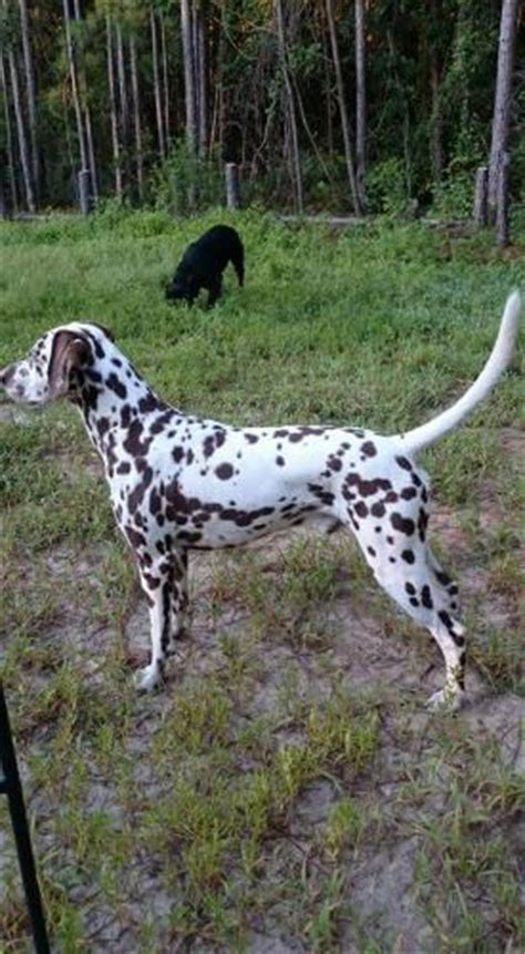 dalmatian puppies for sale houston litter for sale puppies for sale