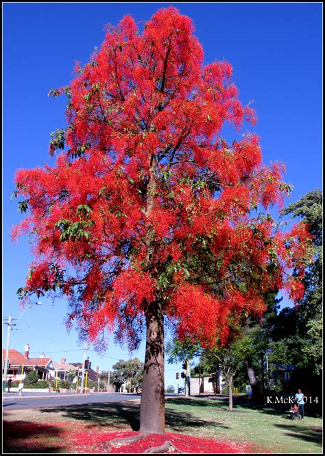 Autumn Flower by Illawarra Flame Tree 171 Mtlawleyshire