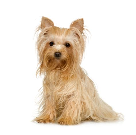 can yorkies eat foods my yorkie can eat petcarerx