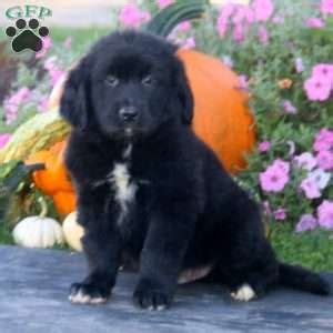 golden retriever mix puppies for sale in wisconsin golden retriever mix puppies for sale greenfield puppies