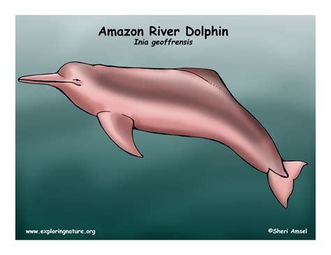 diagram of a dolphin dolphin river or boto