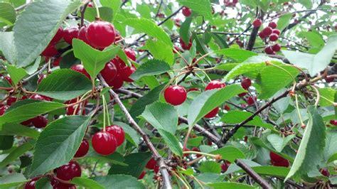 Cherry Season Door County by Door County Cherry Season Underway Wluk