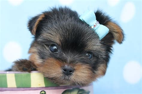 how much are teacup yorkies teacup yorkie puppies for sale 3 widescreen wallpaper dogbreedswallpapers