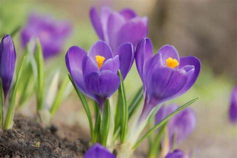 fiori crocus crocus planter et cultiver ooreka