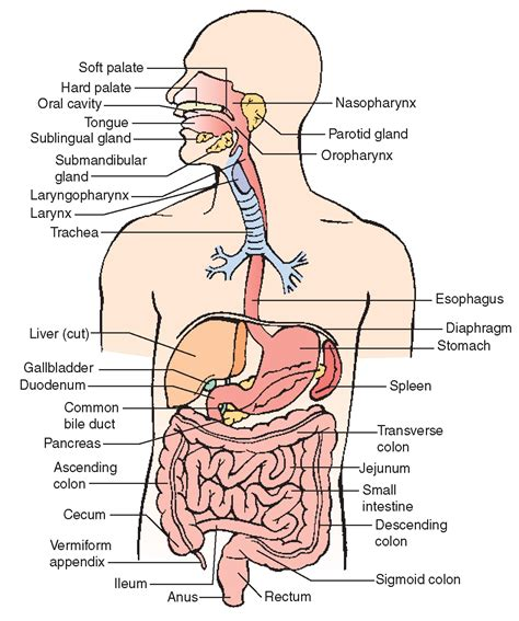 labeled digestive system diagram human digestive system human anatomy