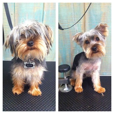 yorkie before and after grooming image east coast schnauzerseast coast schnauzers