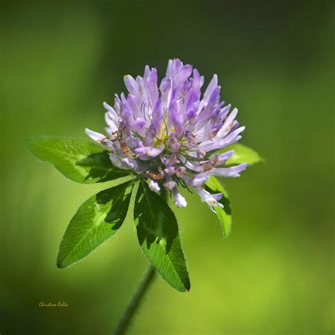 Purple Cover by Purple Clover Flower Square Photograph By Rollo