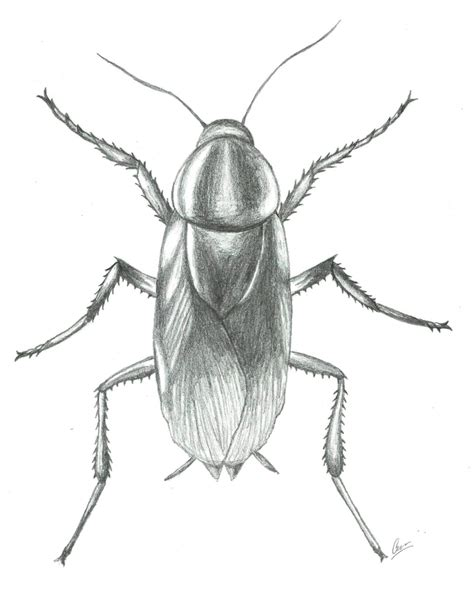 of a drawing of a cockroach drawing library
