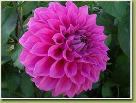 photos of colombia flowers dahlia mexico s national flower dahlia is a genus of bushy