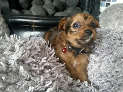 yochon puppies for sale yo chon puppies for sale swansea swansea pets4homes