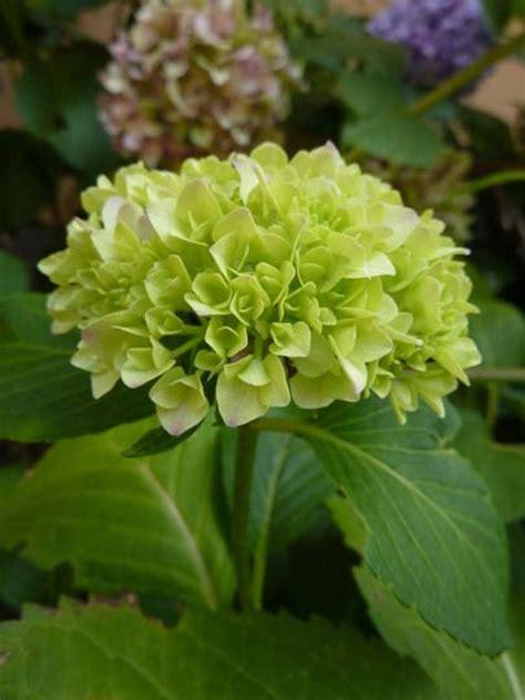 fiori d o di ortensia hydrangea e i suoi fiori d estate verdi
