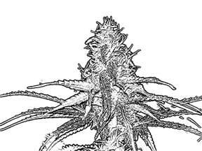cannabis coloring book cannabis coloring book breedbay