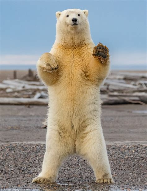 Polar bear cub shows off its dance moves in Alaska   Daily