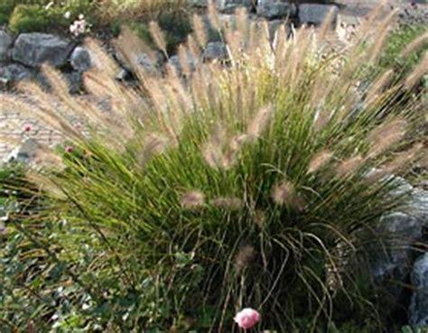 winterharte gräser garten pennisetum alopecuroides hameln kleines