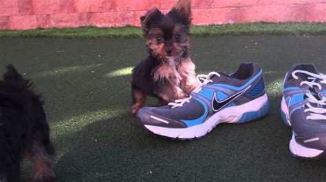 tiny yorkies for sale in san diego teacup tiny yorkies puppies for sale in san diego ca