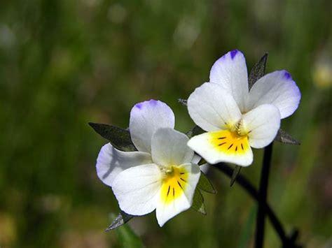immagini di fiori di co fotografie fiori fotografie fiori viola pensiero fiori