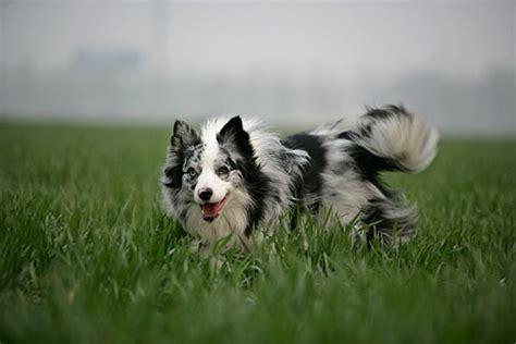 undocked australian shepherd puppies for sale 25 b 228 sta border collie mix id 233 erna p 229 collie mix border collie och