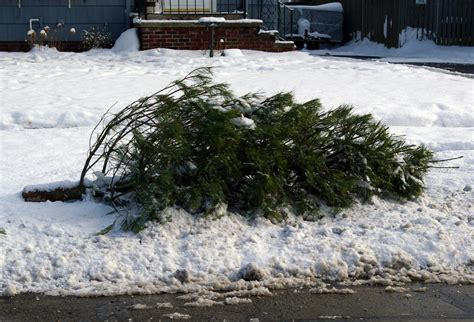 waste management christmas trees city will up discarded live trees no waste collection on new year s day