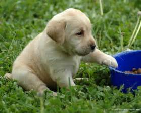 Lab Puppies Gallery Puppy Pictures